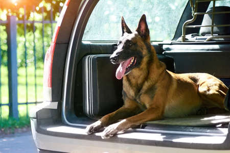 The malinois shepherd dog is protecting the car. The owner of that car doesnt need an alarm.