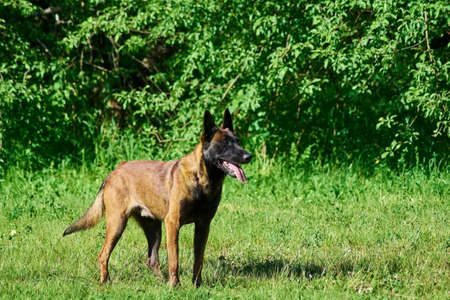 The belgium shepherd is staying on the meadow. The weather is hot.