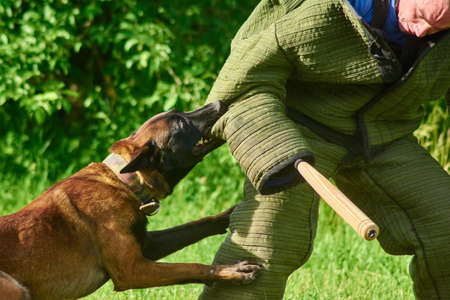 The angry dog with a widely opened eyes is biting figurants elbow. The man is trying to not fall on the ground and standing for. Stock Photo