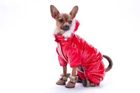 Studio portrait of dressed russian chuihuahua. Beautiful sleek-haired toy chihuahua wearing red winter costume, isolated on white background, studio shot.