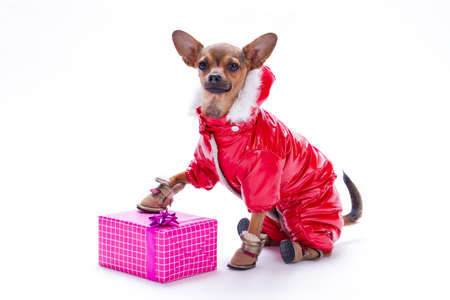 Russian toy chihuahua anfd gift box. Sleek-haired chihuahua dog in red winter costume with Christmas gift box isolated on white background, studio shot.