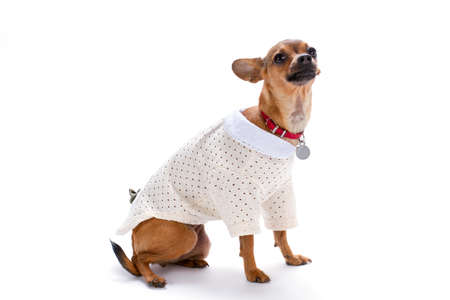 Cute little chihuahua in white clothes. Shorthaired adorable chihuahua wearing white modern blouse isolated on white background, studio shot. Foto de archivo