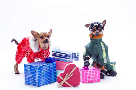 Russian toy chihuahua, toy-terrier and gift boxes. Purebred tiny dogs dressed in winter costumes with a lot of gift boxes isolated on white background.