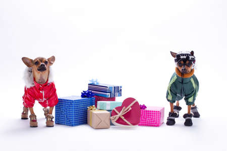Chihuahua and toy-terrier with gift boxes. Miniature pedigreed dogs in fashion winter suits with Christmas gifts isolated on white background, studio shot.
