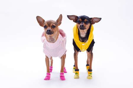Russian toy-terrier and chihuahua. Cute couple of mini purebred dogs dressed in fashion apparel standing over white background, studio shot. Stock Photo