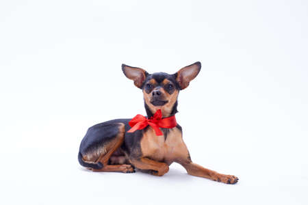 Tiny toy-terrier, studio shot. Beautiful sleek-haired russian toy-terrier lying isolated on white background. Miniature domestic dog. Stock Photo