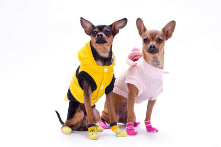 Sleek-haired toy-terrier and chihuahua. Studio shot of lovely couple of pedigree tiny dogs in fashion clothes isolated on white background, studio portrait.
