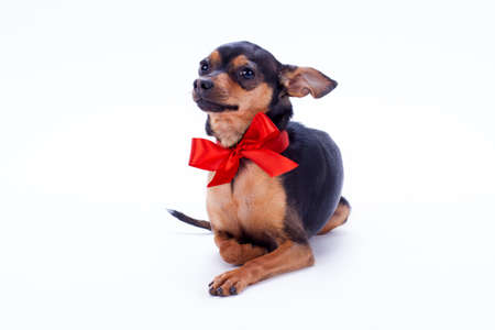 Portrait of little russian toy terrier. Beautiful little shorthaired toy-terrier with red bow isolated on white background, studio shot. Beautiful gift on Birthday. Banque d'images