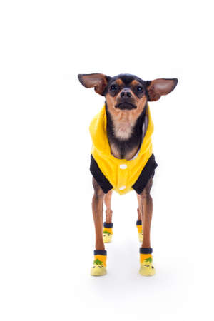 Cute russian toy-terrier, front view. Lovely sleek-haired toy-terrier in modern yellow clothes isolated on white background, studio shot. Stylish miniature dog. Stock Photo