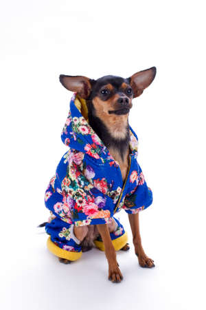 Toy terrier in blue floral print apparel. Sleek-haired teerier dog dressed in fashion blue with a pattern of flowers winter costume, studio shot. Little dogs fashion style.