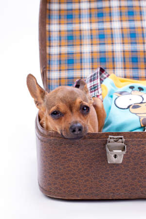 Chihuahua in brown travel suitcase. Portrait of cute tiny pedigree dog sitting in valise with clothes. Ready for journey concept.