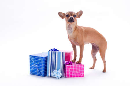Sleek-haired russian toy and gift boxes. Brown chihuahua dog with a lot of Christmas gifts isolated on white background, studio portrait. Toy-terrier and New Year gifts. Stock Photo
