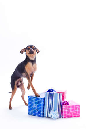 Russian toy-terrier and gift boxes. Sleek-haired little toy-terrier with Christmas gifts isolated on white background, studio portrait. New Year and holiday concept.