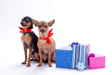 Russian toy-terrier and chihuahua in red ribbon. Two cute purebred dogs with red bows and gift boxes sitting isolated on white background. Christmas and celebration concept.
