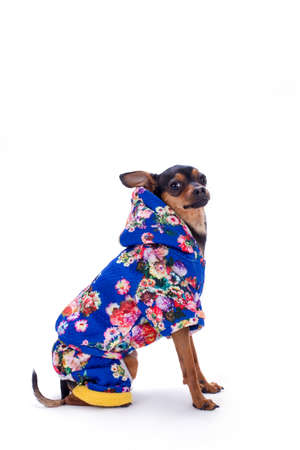 Toy terrier in modern winter costume. Miniature pedigree dog dressed in cute winter clothes sitting isolated on white background, studio portrait.