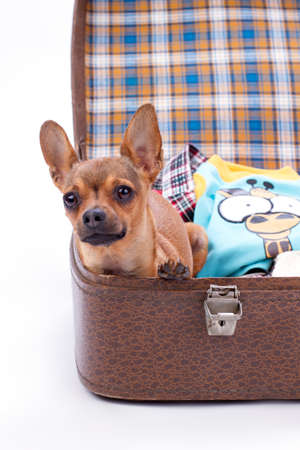 Russian toy chihuahua in travel suitcase. Lovely tiny purebred chihuahua dog sitting in travel bag with clothes. Cute chihuahua puppy ready for trip.