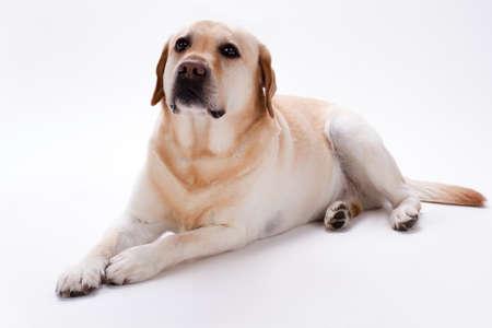 Labrador retriever joven, tiro del estudio. Labrador retriever rubio que miente en el fondo blanco. Adorable perro de raza pura.
