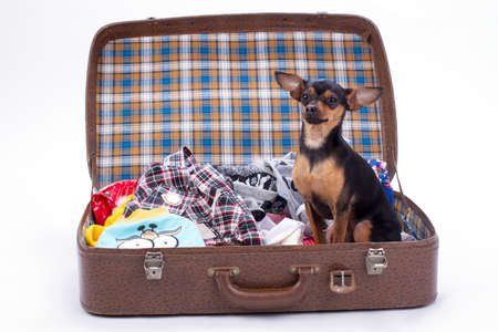 Toy-terrier in suitcase for travel. Sleek-haired russian toy-terrier sitting in open travel bag with clothes. Resort and weekend concept. Stock Photo