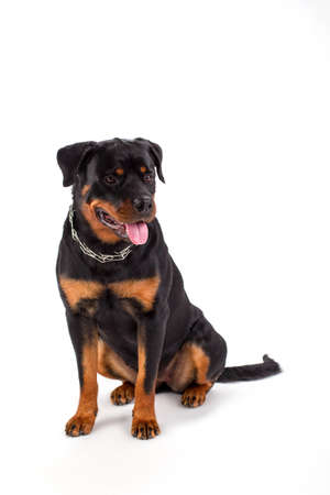 Young rottweiler sitting over white. Studio shot of lovely purebred rottweiler isolated on white background. Black and brown strong dog. Stock Photo