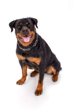 Cute young rottweiler, studio portrait. Beautiful young rottweiler dog sitting isolated on white background. Adorable pedigreed dog. Stock Photo