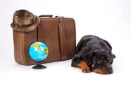 Rottweiler lying near travel suitcase. Young purebred rottweiler dog with brown travel valise and globe lying isolated on white background, studio shot.