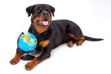 Portrait of rottweiler with globe. Cute young rottweiler posing with globe over white background, studio shot.