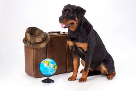 スーツケース、帽子、地球儀を持つロットワイラー犬。茶色の旅行バッグ、帽子、地球儀を持つロットワイラーのスタジオの肖像画は、白い背景に