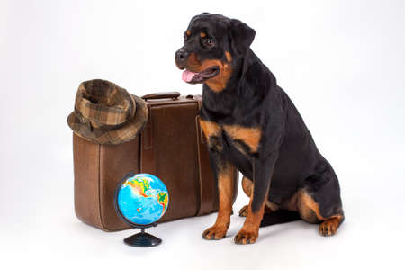 Rottweiler dog with suitcase, hat and globe. Studio portrait of rottweiler with brown travel bag, hat and globe, isolated on white background. Ready for trip concept.