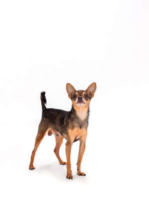 Cut toy-terrier on white background. Adorable brown russian toy-terrier standing isolated over white background, studio shot.