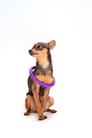 Tiny dog with hoola hoop on neck. Russian sleek-haired toy-terrier dog sitting isolated over white background, studio shot.