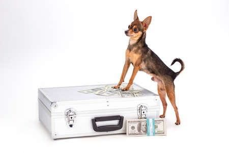 Purebred toy-terrier and suitcase with cash. Lovely tiny sleek-haired dog and closed silver case with dollars isolated on white background, studio shot.