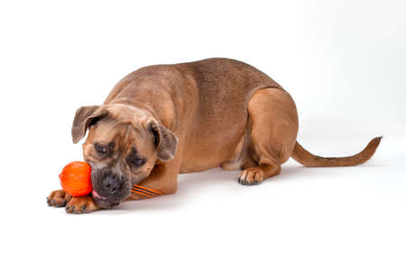 Cute cane corso playing with toy. Puppy of brown cane corso playing with round orange ball isolated on white background, studio shot.