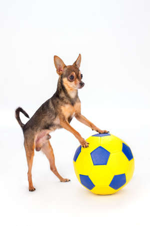Adorable toy-terrier with football ball. Cute russian toy-terrier with large yellow soccer ball isolated on white background, studio shot. Stock Photo