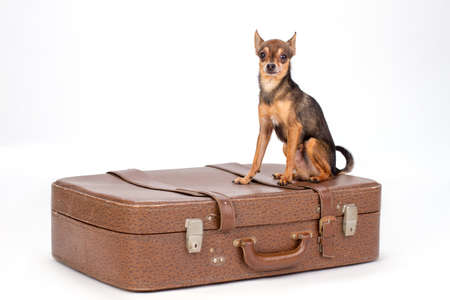 Toy-terrier on large brown suitcase. Cute little russian toy-terrier sitting on brown suitcase for travelling isolated on white background, studio shot.