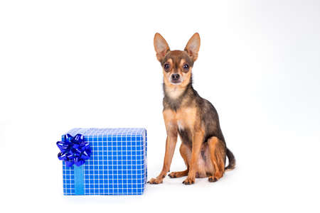 Cute toy-terrier with gift box. Adorable terrier dog sitting wit blue gift box isolated on white background, studio shot. Christmas and celebrations concept.
