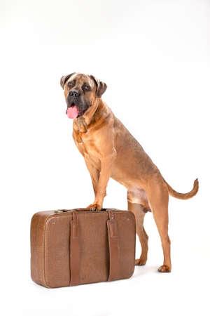 Italian cane corso on travel suitcase. Beautiful big italian mastiff boxer standing on travel valise isolated on white background, studio shot. Ready for trip concept. Stock Photo