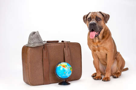 Brown cane corso with travel bag. Big italian mastiff cane corso with travel valise, globe and hat sitting isolated on white background. Travelling and vacation concept. Stock Photo