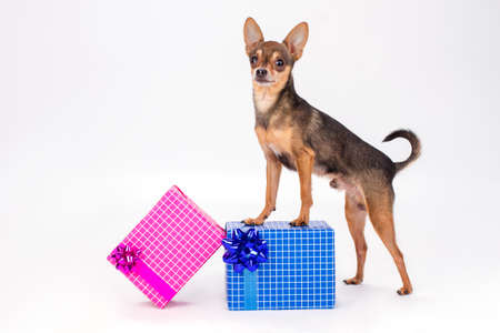 Tiny purebred terrier standing on gift box. Russian sleek-haired toy-terrier dog and two gift boxes isolated on white background, studio shot. Holidays and celebrations concept.