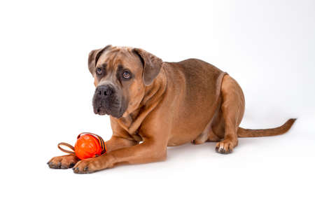 Italian mastiff cane corso playing with ball. Serious cane corso italian dog lying with ball on white background, studio shot. Attractive and huge dog. Stock Photo