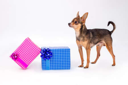 Toy-terrier and Christmas gift boxes. Russian sleek-haired toy-terrier dog and two boxes with gifts isolated on white background. New Year and Christmas holidays concept. Stock Photo
