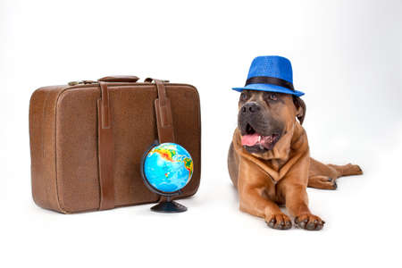 Cute italian mastiff, studio shot. Brown cane corso italian dog in blue hat lying near travel suitcase and globe isolated on white background. Purebred italiano mastiff.