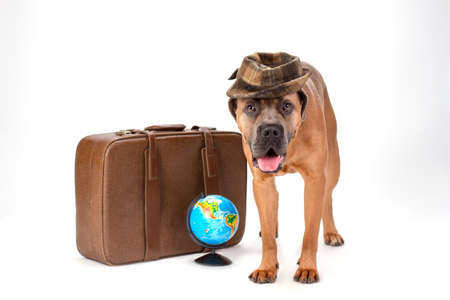 Cute cane corso in hat, travel concept. Italian mastiff cane corso in cute hat with travel valise and globe standing isolated on white background. Travelling and vacation concept.