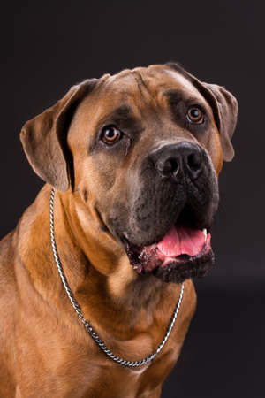 Young cane corso, studio portrait. Brown adorable italian mastiff cane corso boxer with silver chain on neck, studio shot. Cute and muscular domestic friend.