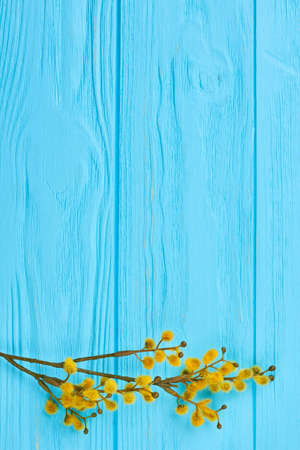 Pussy willow twig on blue wooden background. Branch of the pussy willow with yellow flowering bud on color background, copy space. Woman Day celebration greeting card.