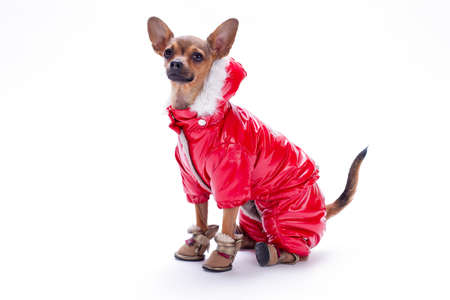 Beautiful purebred sleek-haired russian chihuahua dressed in fashion winter suit and shoes, isolated on white background.