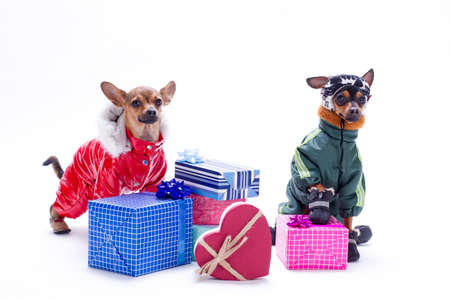 Sleek-haired tiny dogs wearing modern winter costumes with Christmas gift boxes isolated on white background.