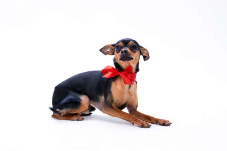 Sleek-haired toy-terrier with red bow. Studio shot of adorable black pedigree dog isolated on white background. Perfect domestic animal.