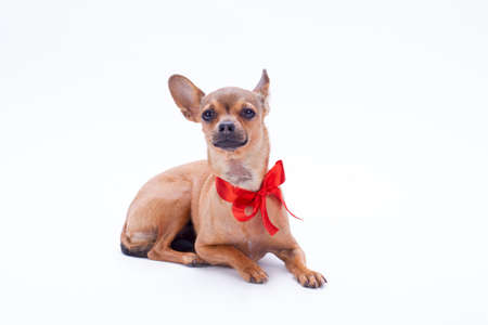 Adorable purebred sleek-haired chihuahua dog with red ribbon on neck lying on white background, studio shot. Perfect Christmas gift. Stock Photo