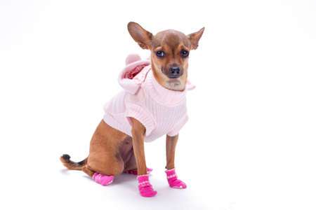 Cute purebred russian chihuahua, studio shot. Beautiful female sleek-haired toy chihuahua dressed in pink modern apparel, isolated on white background. Stock Photo