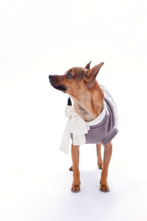 Russian toy in clothes, studio shot. Brown sleek-haired chihuahua dog standing in clothes over white background, studio portrait. Beautiful domestic pet. Stock Photo